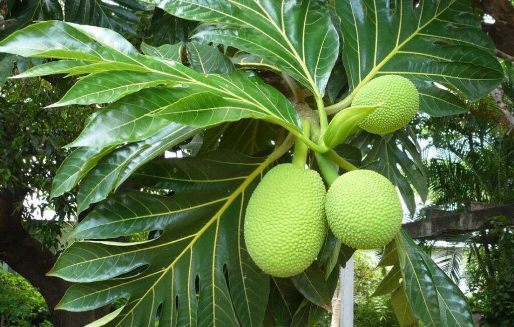 Trapèze des Mascareignes - Fruit a pain