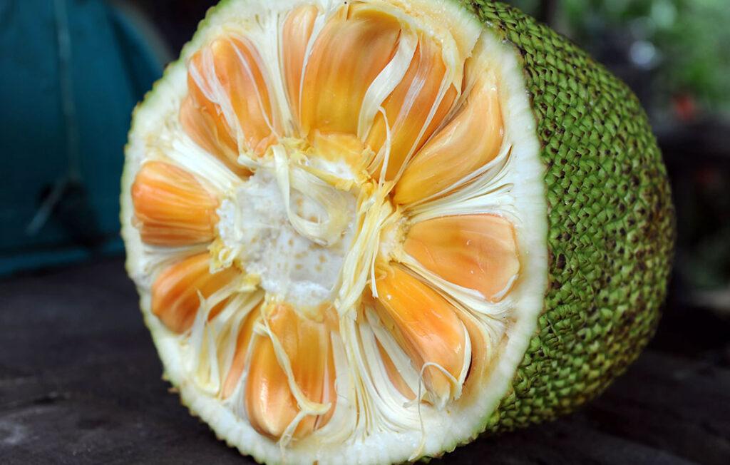 Trapèze des Mascareignes - Jackfruit